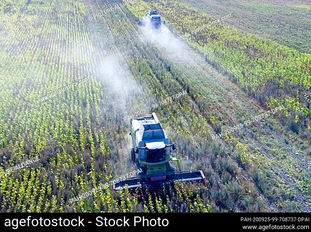 22 September 2020, Mecklenburg-Western Pomerania, Linstow: Combine harvesters harvest sunflowers in a field for fodder production