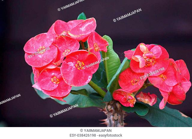 Crown of thorns flowers : Euphorbia milli Desmoul in japanese garden