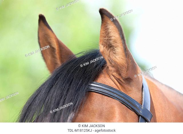 The ears of a horse