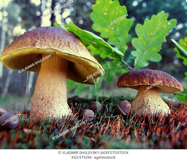Ceps or Bolets  Boletus Edulis in nature  Wild edible mushrooms growing in a forest  Eastern Europe, Russia