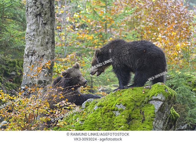 Brown Bears, Ursus arctos, two cubs fighting, Germany