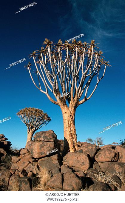 Quiver, Tree, Keetmanshoop, Namibia,Aloe, dichotoma