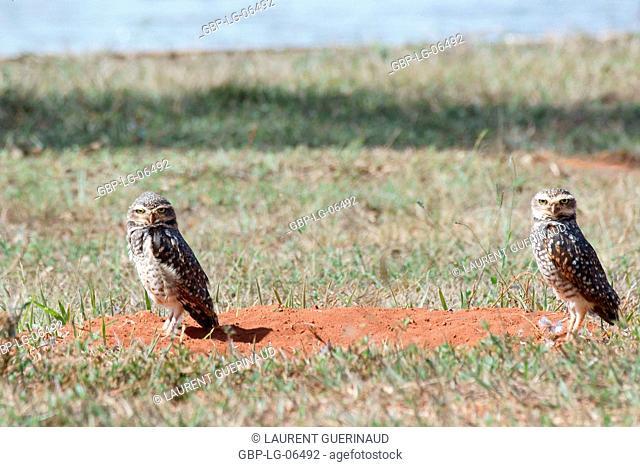 Owl, Athene cunicularia, Chevêche, chouette give terriers, Park City D. Sarah Kubitschek, city, Distrito Federal, Brasília, Brazil