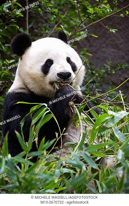 Giant Panda Bear eating bamboo in North America, USA
