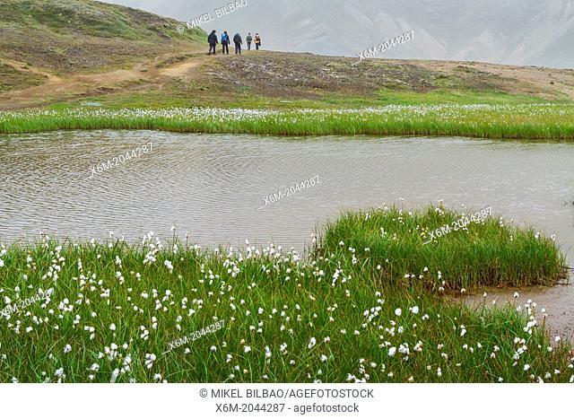 Common cottongrass (Eriophorum angustifolium) in wetlands. Landmannalaugar region. Highlands. Iceland, Europe