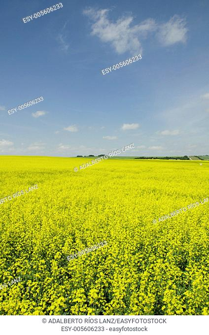 Canola plants are harvested mostly for the production of oil