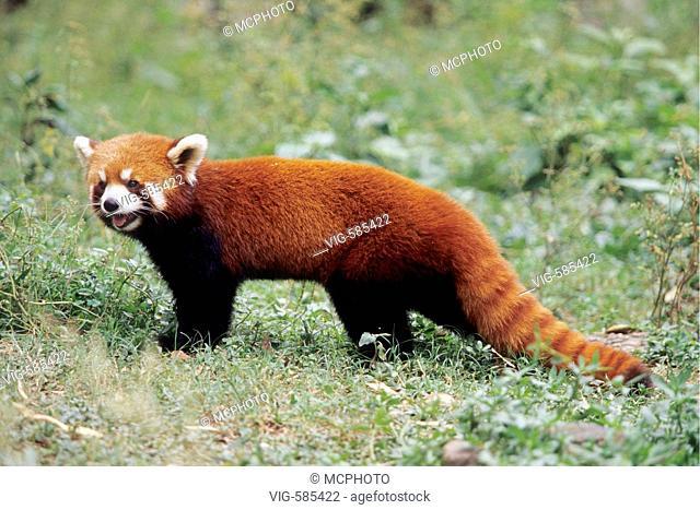 Roter Pandabaer in der Forschungsstation Chengdou/China - Chengdu, Sichuan, China, 04/08/2006