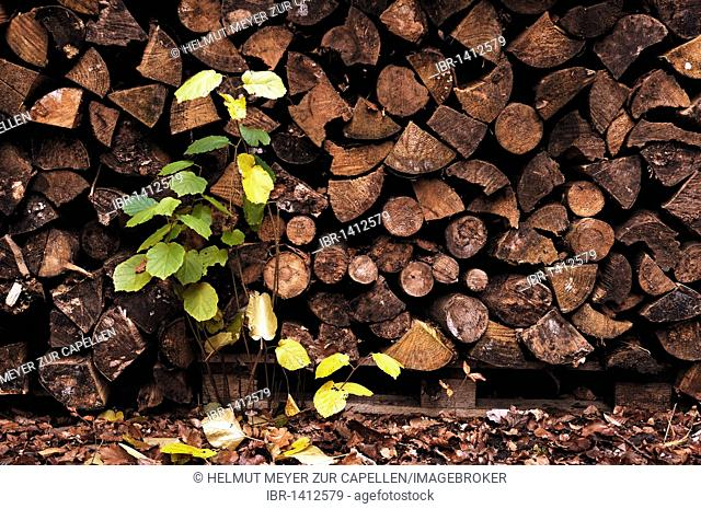 Stacked firewood with a young green tree shoot in front