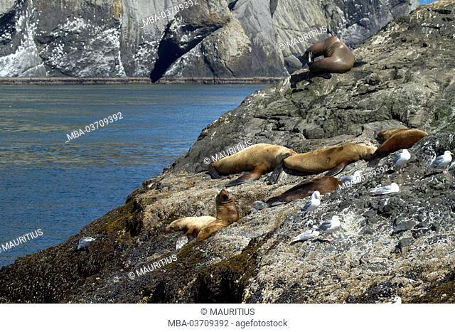 North America, USA, Alaska, Seward, Kenai Fjords National Park, Resurrection Bay, Steller sea lions and gulls in the sun on rock