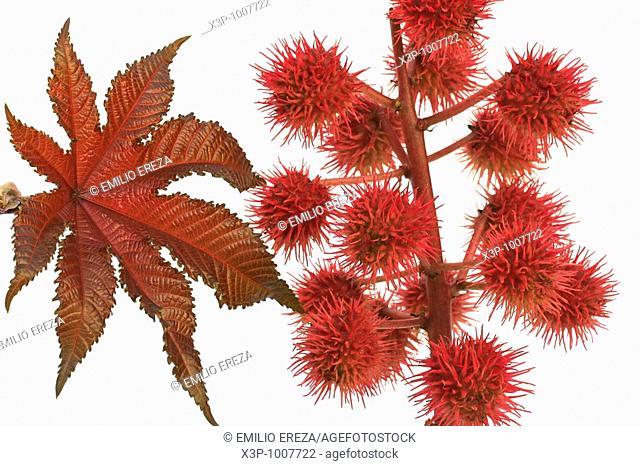 Ricin fruits Ricinus communis Castor oil
