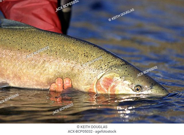 Steelhead being released, Bulkley river, British Columbia, Canada