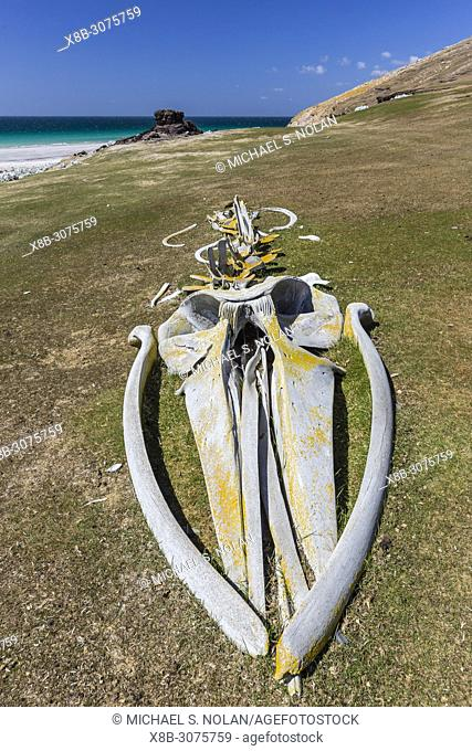 The skeletal remains of a beached young sei whale, Balaenoptera borealis, reassembled on Saunders Island, Falklands