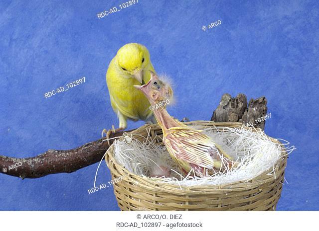 Canary feeding chicks at nest Serinus canaria
