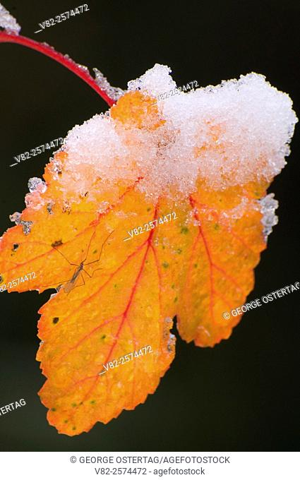 Wild gooseberry leaf with snow, Willamette National Forest, Oregon