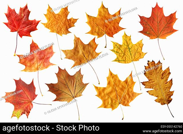 Set of fallen maple different color leaves isolated on white