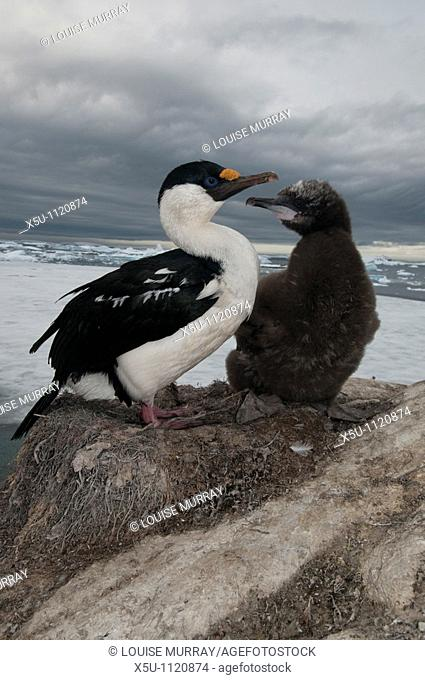 Antarctic shag and chick  The chick is larger than its parent Antarctic peninsula