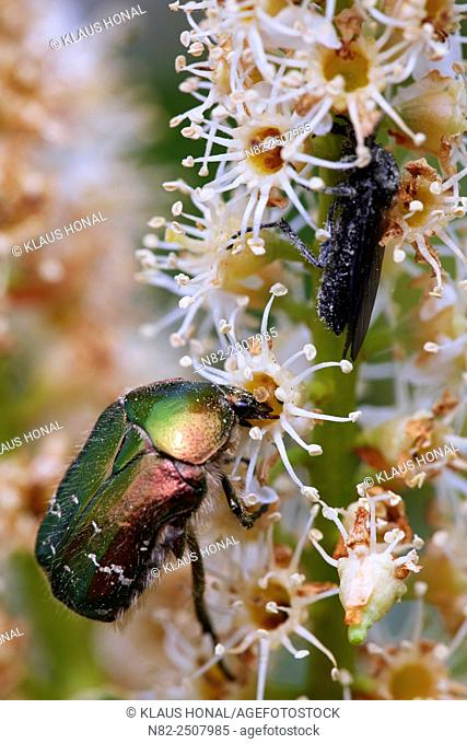 Life in garden, Rose Chafer Cetonia aurata and St Mark's Fly Bibio marci on Cherry laurel Prunus laurocerasus blossom - Hesselberg region, Bavaria/Germany