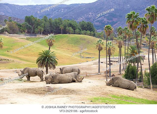 White rhinoceros in captivity at the San Diego Zoo Safari Park in California