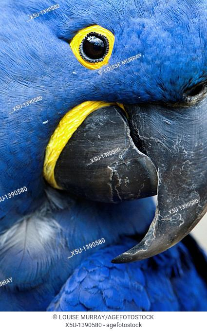Hyacinth macaw closeup of head and massive curved beak  These beautiful endangered parrots are at risk from habitat loss and illegal collection for the pet...