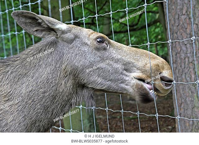 elk, European moose Alces alces alces, cow nibbling at a fence