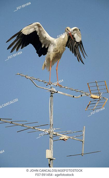 European White Stork (Ciconia ciconia) - On TV Antenna - Spain -  Found in Europe-Western Asia and Southern Africa - Winters mostly in tropical and Southern...