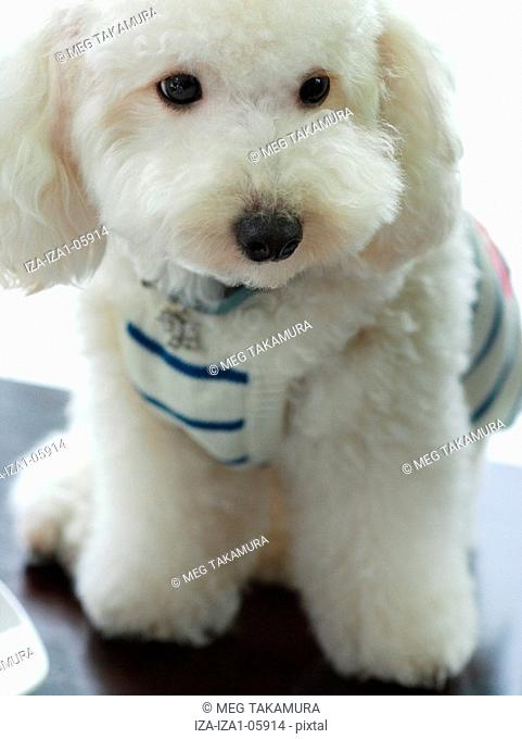 Close-up of a miniature poodle
