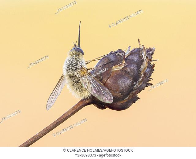 A dew covered Bee Fly (Anastoechus barbatus) perches on its overnight roost on a plant seed pod early in the morning