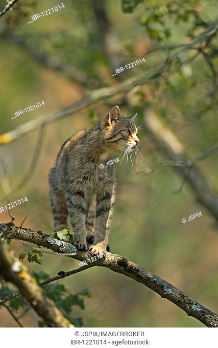 European wildcat (Felis silvestris), adult, on tree