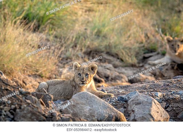 Lion cub laying in a rocky riverbed in the Pilanesberg National Park, South Africa