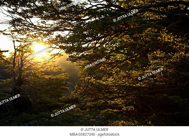 Chile, Araucania, national park Conguillio, beech forest, oak forest, the sun