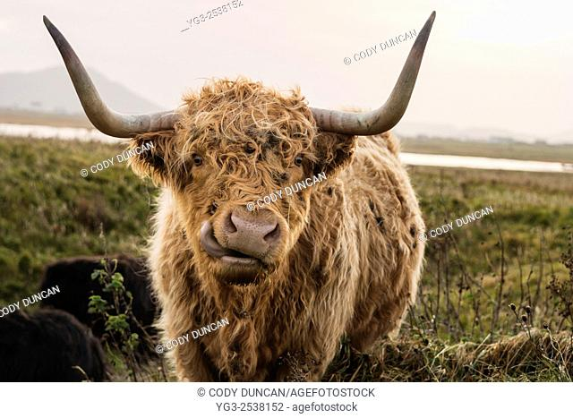 Scottish highland cow looking into camera with mouth open, Outer Hebrides, Scotland