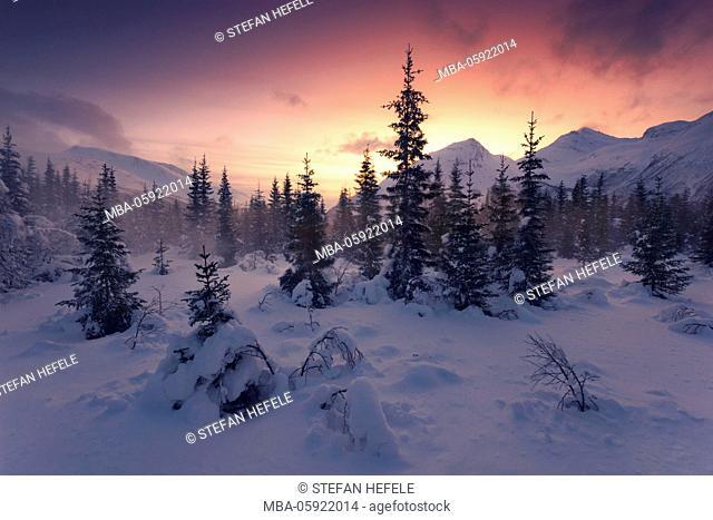 Coniferous forest in the blizzard in the Lyngen Alps, Norway