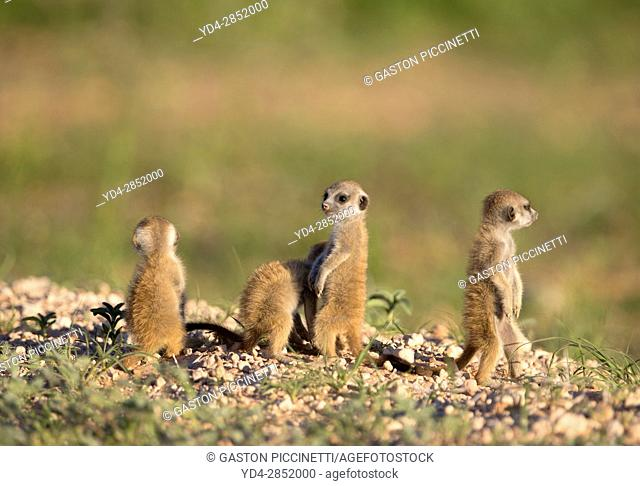 Suricate (Suricata suricatta) - Youngs, Kgalagadi Transfrontier Park, Kalahari desert, South Africa/Botswana