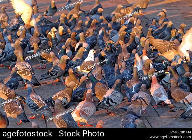 Big Flock of Pigeons and Doves Feeding at Street