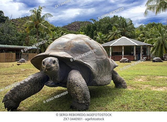 Seychelles Giant Tortoise (Dipsochelys hololissa), Curieuse Island near Praslin, Seychelles, Africa, Indian Ocean. Seychelles giant tortoise