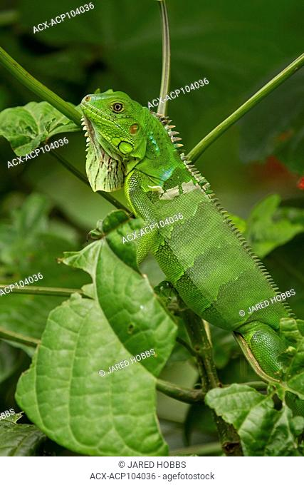 Green Iguana, Iguana iguana, Costa Rica, Central America