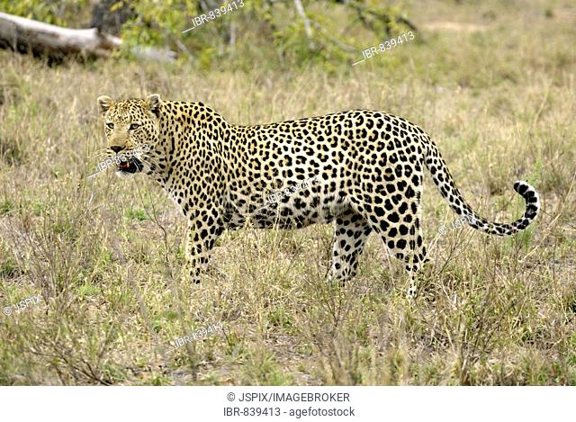Leopard (Panthera pardus), male, Sabi Sand Game Reserve, South Africa