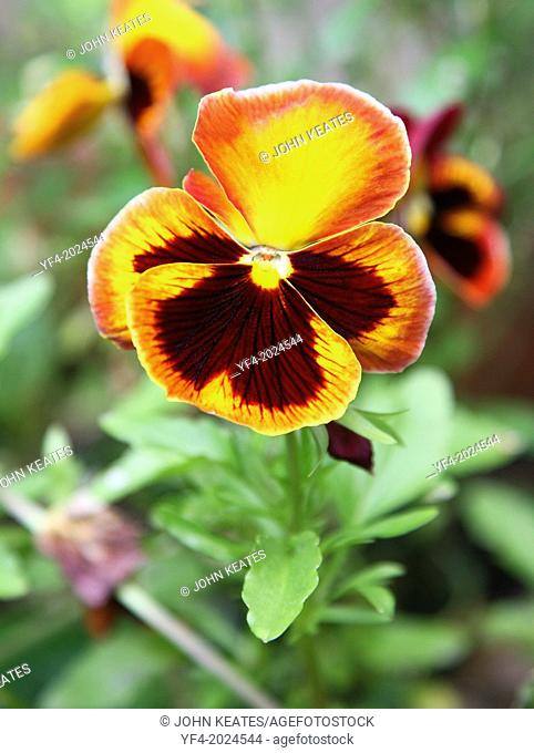 A close up of a brown, orange, and yellow pansy or pansy violet