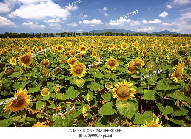 Sunflower field, row of cypress trees at back, Maremma, Tuscany, Italy