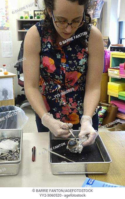 7th Grade Science Teacher Dissecting Cow Eyeball, Wellsville, New York, USA