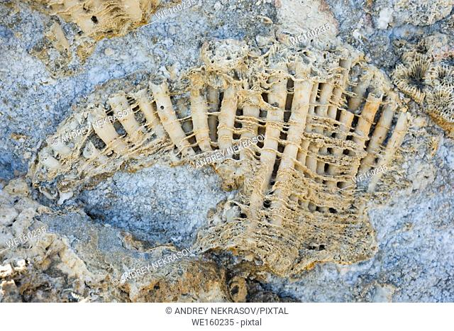Coral fossil texture background