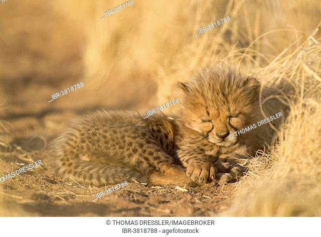 Cheetah (Acinonyx jubatus), sleeping male cub, 41 days, captive, Namibia