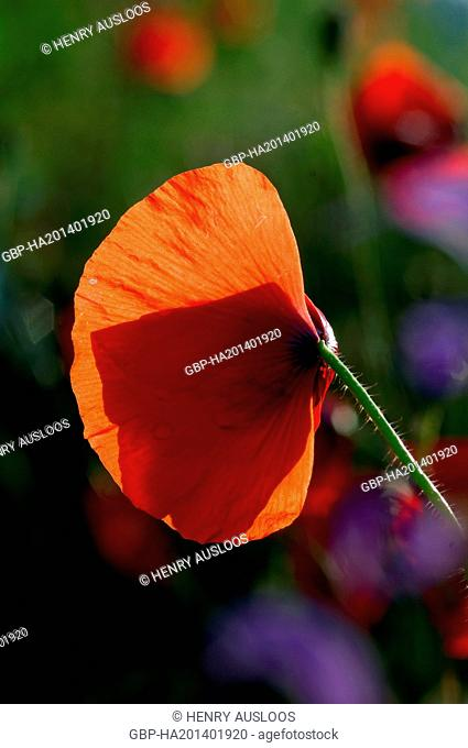 Grand coquelicot - Common poppy - Papaver rhoeas