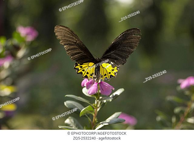 Common Birdwing butterfly, Troides helena, Papilionidae, Gumti, Tripura, India