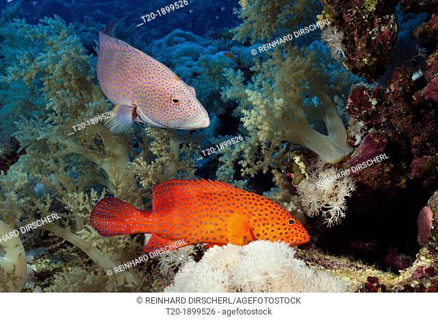 Coral Grouper and Lyretail Grouper, Cephalopholis miniata, Elphinstone, Red Sea, Egypt