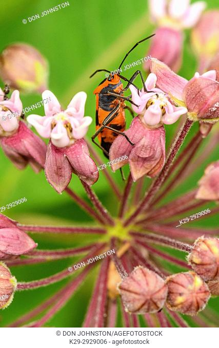 Large milkweed bug (Oncopeltus fasciatus), Greater Sudbury, Ontario, Canada