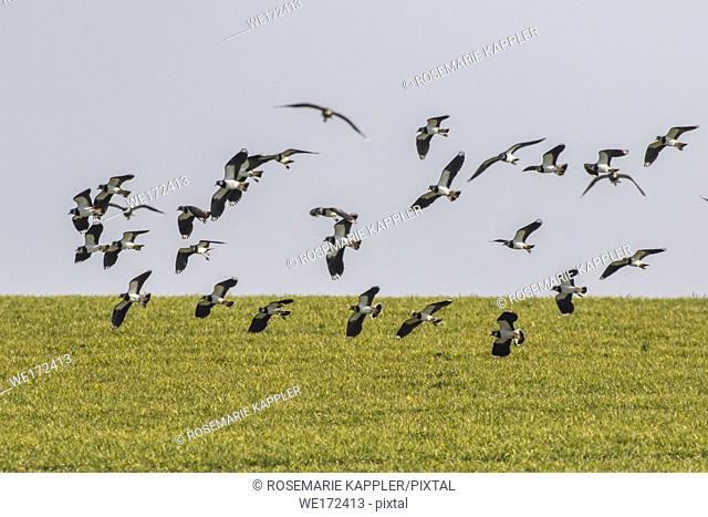 Germany, Saarland, Homburg - A Lapwing in the biotop of beeden