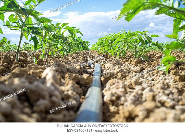 Young tomato plant growing with drip irrigation system. Ground level view