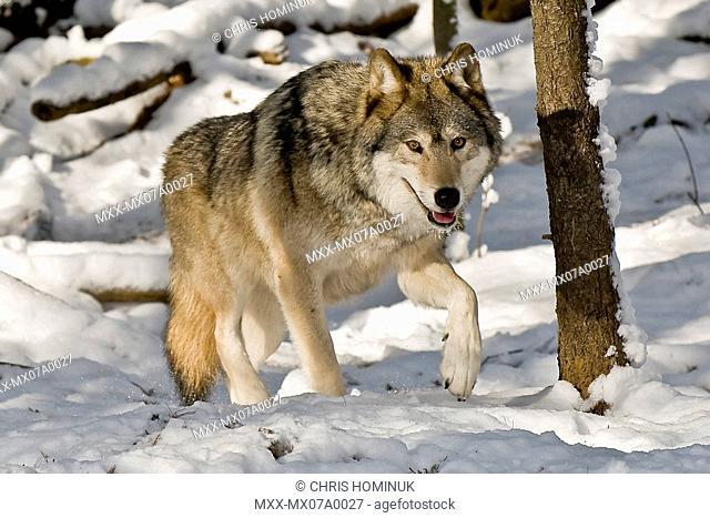 Wolf, Canis Lupis, Muskoka Wildlife Centre, Ontario