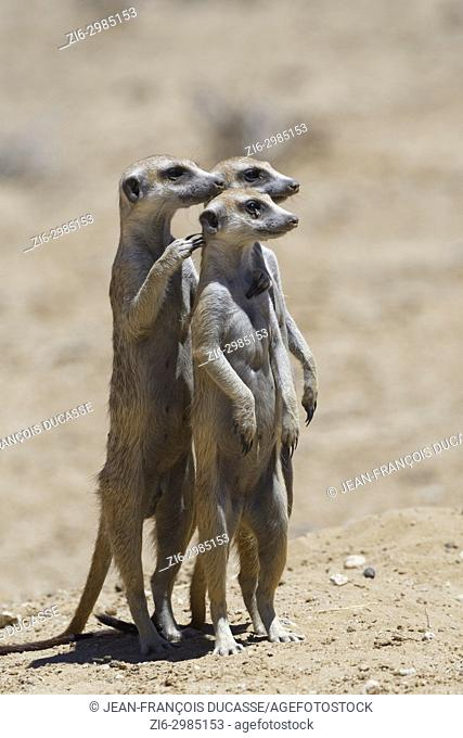 Standing meerkats (Suricata suricatta), on guard, Kgalagadi Transfrontier Park, Northern Cape, South Africa, Africa